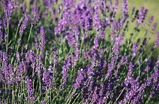 Huile essentielle de Lavande vraie - Lavandula angustifolia - Pure et naturelle
