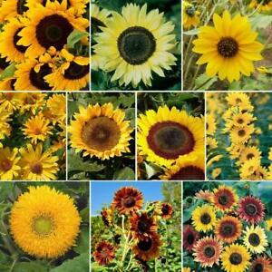 40Pc Sunflower Helianthus Seeds Mixed Flowers Plants Grass Decor Home Garden