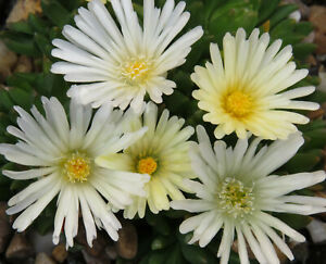 Delosperma Congestum 'Alba' -Easy Succulent Rockery Perennial Plant in 9cm Pot