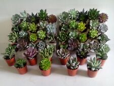 Wedding Flavors/Gifts 50 x Mixed Succulent Plants In 5.5cm Pots