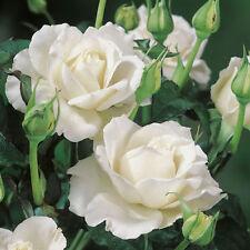 White Bushy Roses