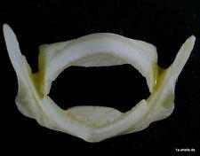 Pesce palla riccio pesce taxidermy PUFFERFISH Blowfish tarlo PESCE-morso Jaws XL