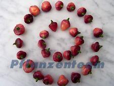 Chili Cheiro Roxa - Schärfe 7 bis 9 von 10 ***   15 Samen