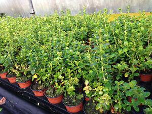 10 Escallonia 'Pride of Donard' Hedging 10.5cm Pots apx 30-45cm Tall
