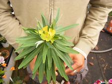 Euphorbia Lambii Succulent Rare