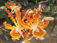 Schomburgkia christinae (Myrmecophila) species orchid