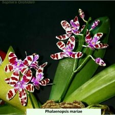 TS34 Phalaenopsis mariae Bare Root T529