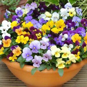 Viola Bambini Mix Flower Seeds (Viola Cornuta) 50+Seeds