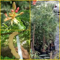 60cm Sour big pods Tamarind grafted tree, tropical plants, Sour Variety Thailand