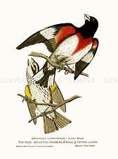 Pintura Aves Belleza Rathbun Rose abotonadura grosbeak Par Art Print lah517a