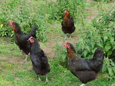 COPPER MARAN HATCHING EGGS X 6 large fowl