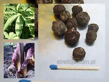 Sauromatum venosum__ Voodoo lily ___AROID__ 3 x Bulbs  __amorphophallus