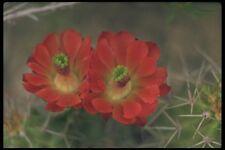 177072 CACTUS fioriture nella primavera FORMATO A4 FOTO STAMPA