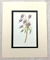 1913 Antico Stampa Viola American Primula Fiore Botanico Floreale Art