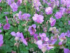 3 Barerooted Cranesbill Geranium Plants Lavender Flowers Perennial Ground Cover