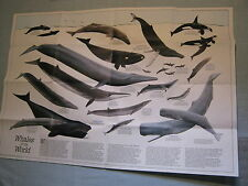 VINTAGE WHALES OF THE WORLD + THE GREAT WHALES MAP National Geographic Dec. 1976