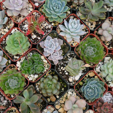 150pc Lot Mixed Succulent Seed Lithops Living Stones Plant Cactus Home Garden JE