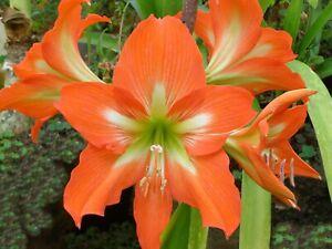 Amaryllis Striped Barbados Lily Hippeastrum striatum 10 Seeds (Free US Shipping)