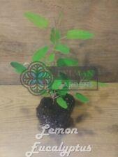 Lemon Eucalyptus - Eucalyptus citriodora - Spotted gum - size 4 to 6 inches
