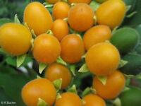 tropische Frucht Blüten Samen Pflanze exotische Früchte Sämereien SAMT-PFIRSISCH