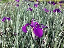 Live Purple Flower Iris Kaempferi Variegata Aquatic Marginal Pond Plant