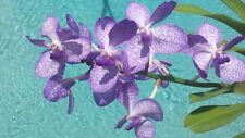 Orchid Vanda Rhyn gigantea x v coerulea in spike Exotic Tropical