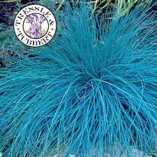 RARE Blu festuca Festuca Glauca ERBA 30 Semi UK Venditore