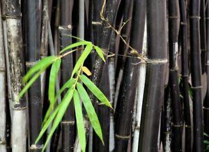 Phyllostachys Nigra (Black Bamboo)   75 Fresh plant seeds