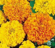 MARIGOLD FLOWER SEEDS 100+ CRACK JACK MIX orange YELLOW annual FREE SHIPPING