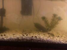 Live Baby Mystery Snails