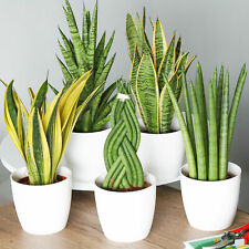 Sansevieria Indoor House Plant Collection | 3 Potted Plants for Home or Office