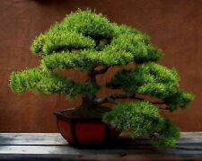 Aleppo Pine - Pinus Halepensis - 15 Seeds - Lovely Specimen or Bonsai