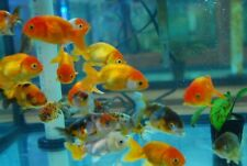 """3x (1.5""""-2""""+) Red and White Ranchu Fancy Goldfish Moss Java 2 Day Fedex Shipping"""