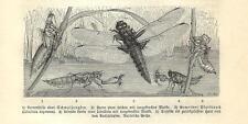 Stampa antica INSETTI LIBELLULA Libellula depressa 1891 Old antique print