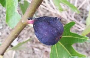 3x Fig cuttings Ficus RONDE de BORDEAUX /RdB famous cold hardy Feigen Stecklinge