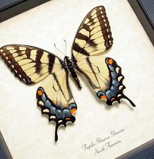 Real Framed Female Papilio Glaucus Tiger Swallowtail Butterfly 562F