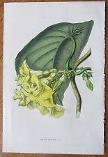 van Houtte: Garden Flowers Echites from Rio de Janeiro - 1848#