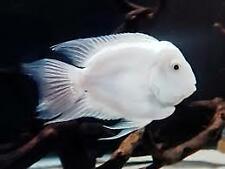 "1 Platinum Parrot Cichild (1.25-1.75"") Live Fish 2Day Fedex shipping"