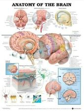 ANATOMY OF THE BRAIN POSTER (66x51cm) ANATOMICAL CHART HUMAN BODY MEDICAL DOCTOR