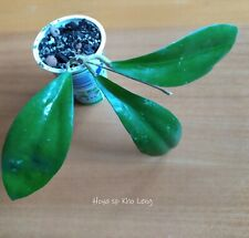 Hoya sp Kho Leng - plant, waxplant, cutting with leaves ROOTED