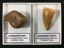 Mosasaur Set - Tooth & Digit #02 - Sulphur River, Texas, Dinosaur Era Fossil