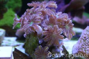 Marine coral,Bright Firework Neon Green Orange Tip Papaya Cloves,many polyps