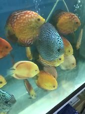 """New listing X10 live Discus Fish Assorted Show Quality 7"""" Huge And The Latest Crosses"""