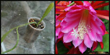 (1) Rooted Epiphyllum X-Large Purple Flower Orchid Cactus Succulent