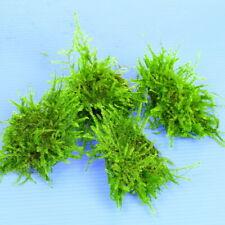 Live Aquarium Plants Java Moss Stone Pad 3pcs - low light tropical fish tank