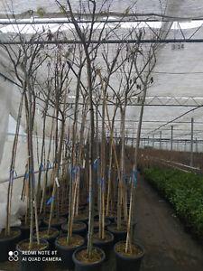 Albizie Albizia julibrissin ca. 300  cm persischer Schlafbaum Seidenbaum Akazie