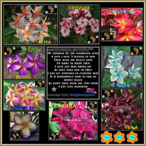 ❀⊱ PLUMERIA ❀ FRANGIPANI ❁ HYBRID INDOOR HOUSE PLANT ✾ 5 SEEDS EACH Ƹ̵̡Ӝ̵̨̄Ʒ⊰❀P2