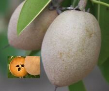 Manilkara Zapota - Sapodilla - Rare Tropical Plant Tree Seeds (5)
