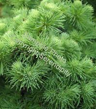 Larix kaempferi 12 Seeds Japanese Larch Bonsai Tree Weathered Look Conifer