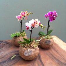 Mini Bonsai Orchid Seeds Orchid Flower Beautiful Garden Flower Mix Color-100Pcs